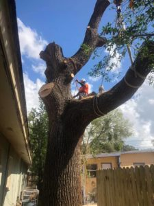 Tree service in Oldsmar
